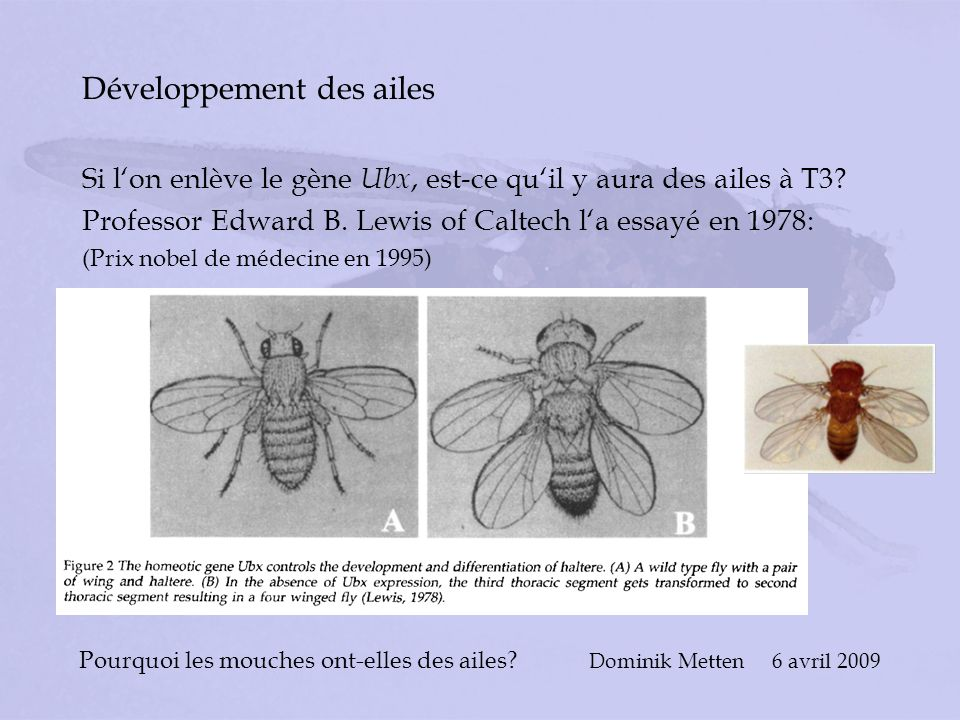 Pourquoi les mouches ont-elles des ailes? Dominik Metten 6 avril 2009 Développement des ailes Si lon enlève le gène Ubx, est-ce quil y aura des ailes
