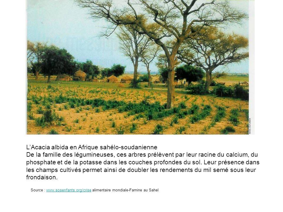LAcacia albida en Afrique sahélo-soudanienne De la famille des légumineuses, ces arbres prélèvent par leur racine du calcium, du phosphate et de la po