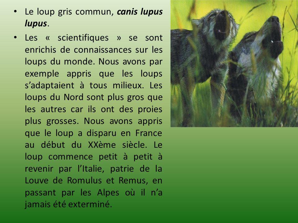 Le loup gris commun, canis lupus lupus. Les « scientifiques » se sont enrichis de connaissances sur les loups du monde. Nous avons par exemple appris