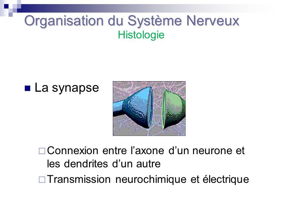 La synapse Connexion entre laxone dun neurone et les dendrites dun autre Transmission neurochimique et électrique Organisation du Système Nerveux Hist