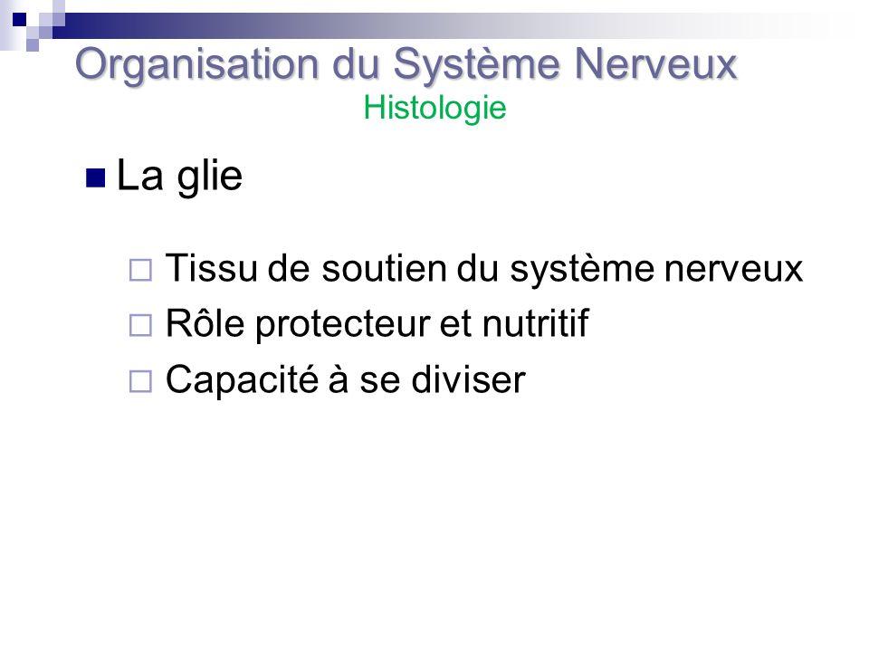 La glie Tissu de soutien du système nerveux Rôle protecteur et nutritif Capacité à se diviser Organisation du Système Nerveux Histologie