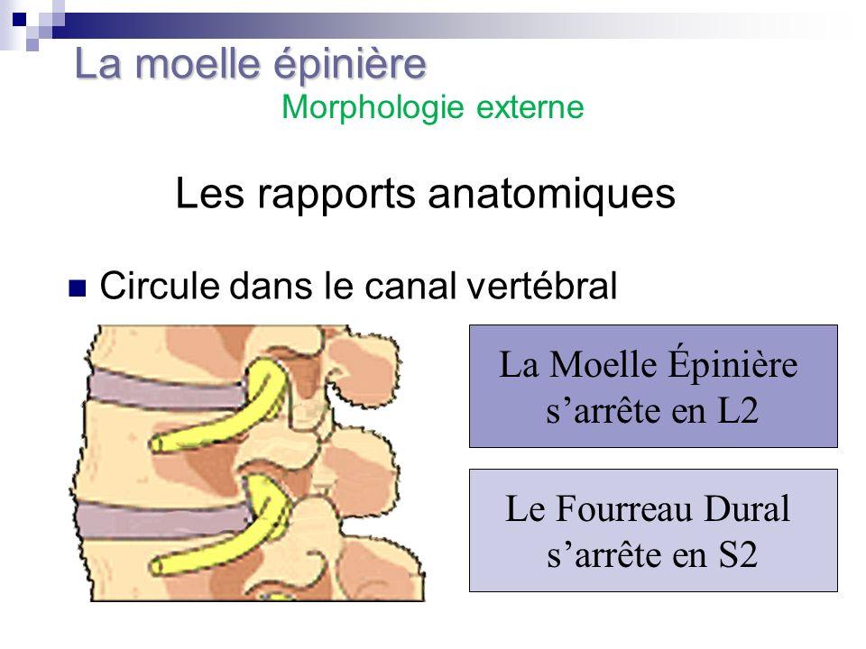 Les rapports anatomiques Circule dans le canal vertébral La Moelle Épinière sarrête en L2 Le Fourreau Dural sarrête en S2 La moelle épinière Morpholog
