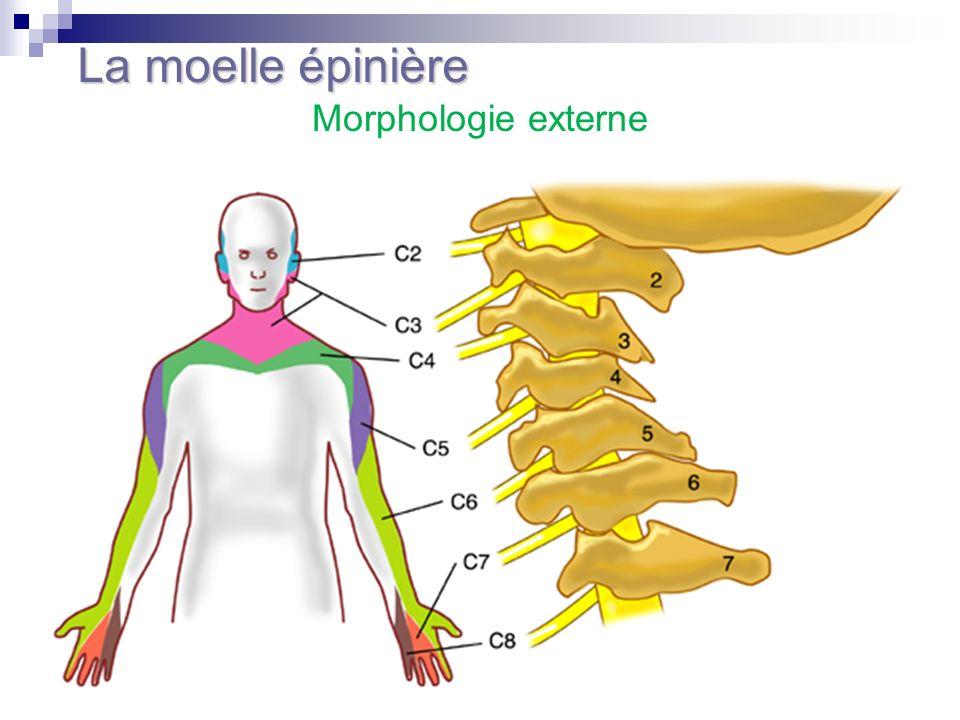 Morphologie externe