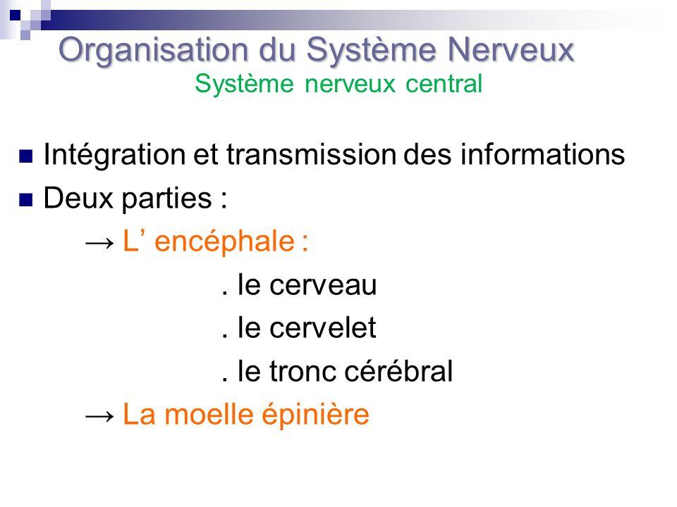 Intégration et transmission des informations Deux parties : L encéphale :. le cerveau. le cervelet. le tronc cérébral La moelle épinière Organisation