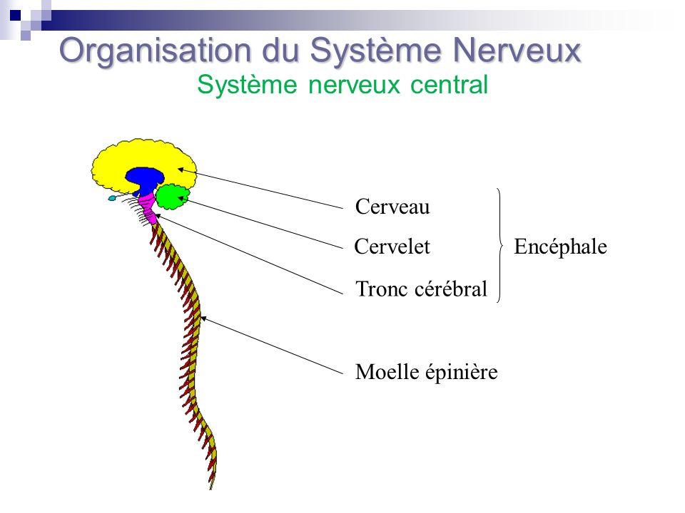 Partie située à lextérieur de la cavité crânienne et du canal rachidien Nerfs crâniens Nerfs spinaux ou rachidiens qui émergent du canal rachidien Organisation du Système Nerveux Système nerveux périphérique