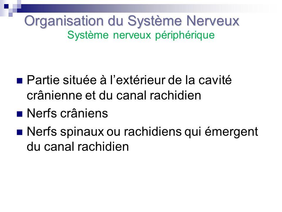 Partie située à lextérieur de la cavité crânienne et du canal rachidien Nerfs crâniens Nerfs spinaux ou rachidiens qui émergent du canal rachidien Org
