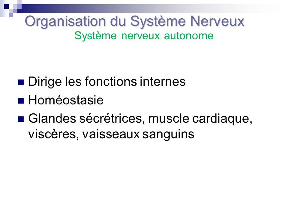 Dirige les fonctions internes Homéostasie Glandes sécrétrices, muscle cardiaque, viscères, vaisseaux sanguins Organisation du Système Nerveux Système