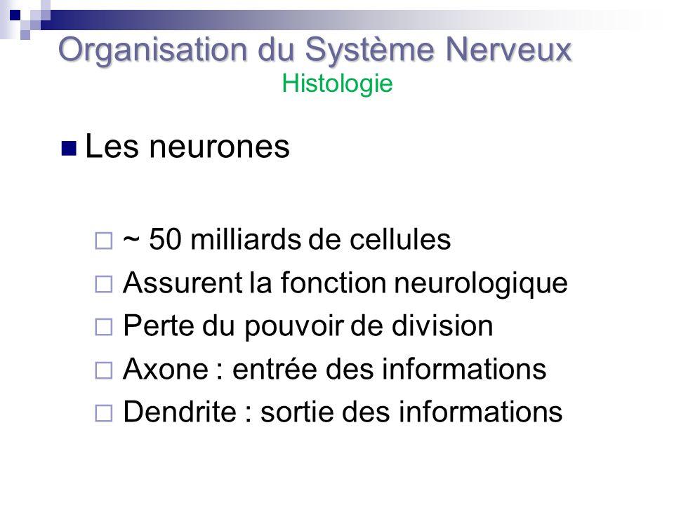 Les neurones ~ 50 milliards de cellules Assurent la fonction neurologique Perte du pouvoir de division Axone : entrée des informations Dendrite : sort