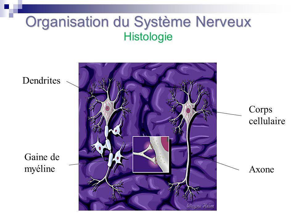 Organisation du Système Nerveux Corps cellulaire Axone Dendrites Gaine de myéline Histologie