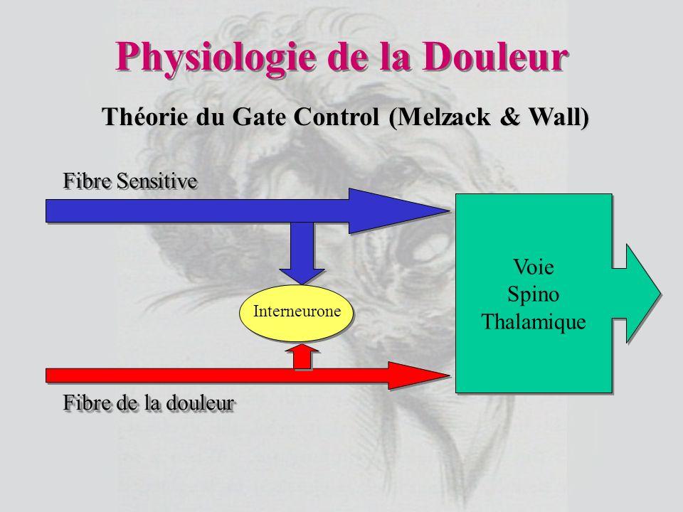Physiologie de la Douleur Voie Spino Thalamique Voie Spino Thalamique Fibre Sensitive Fibre de la douleur Interneurone Théorie du Gate Control (Melzac