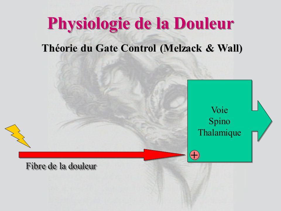 Physiologie de la Douleur Voie Spino Thalamique Voie Spino Thalamique + + Fibre de la douleur Théorie du Gate Control (Melzack & Wall)