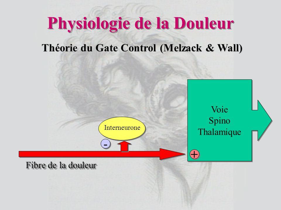Physiologie de la Douleur Voie Spino Thalamique Voie Spino Thalamique - - + + Fibre de la douleur Interneurone Théorie du Gate Control (Melzack & Wall