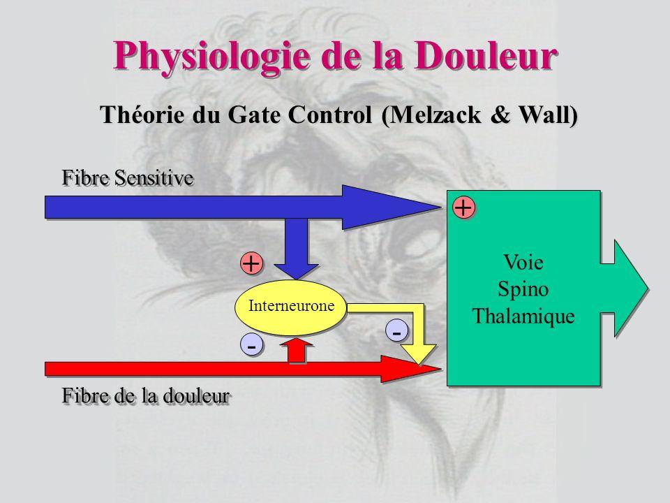 Physiologie de la Douleur Voie Spino Thalamique Voie Spino Thalamique - - - - + + + + Fibre Sensitive Fibre de la douleur Interneurone Théorie du Gate