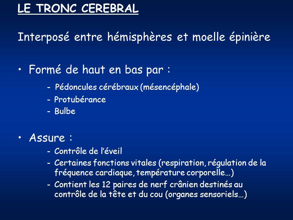 LE TRONC CEREBRAL Interposé entre hémisphères et moelle épinière Formé de haut en bas par : - Pédoncules cérébraux (mésencéphale) -Protubérance -Bulbe Assure : -Contrôle de léveil -Certaines fonctions vitales (respiration, régulation de la fréquence cardiaque, température corporelle…) -Contient les 12 paires de nerf crânien destinés au contrôle de la tête et du cou (organes sensoriels…)