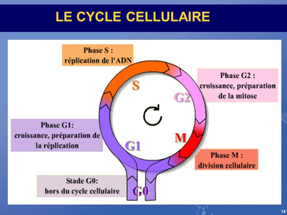 74 LE CYCLE CELLULAIRE