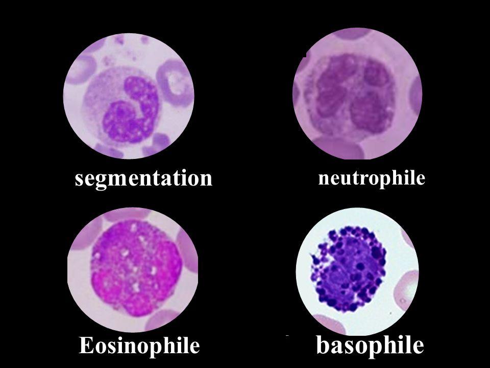 basophile Eosinophile segmentation neutrophile