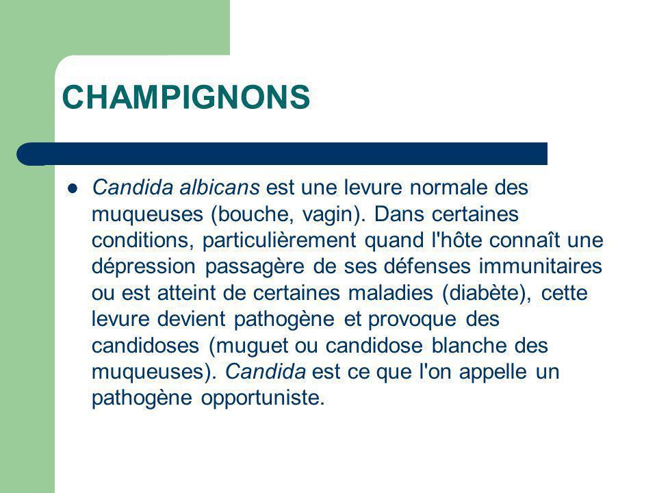 CHAMPIGNONS Candida albicans est une levure normale des muqueuses (bouche, vagin). Dans certaines conditions, particulièrement quand l'hôte connaît un