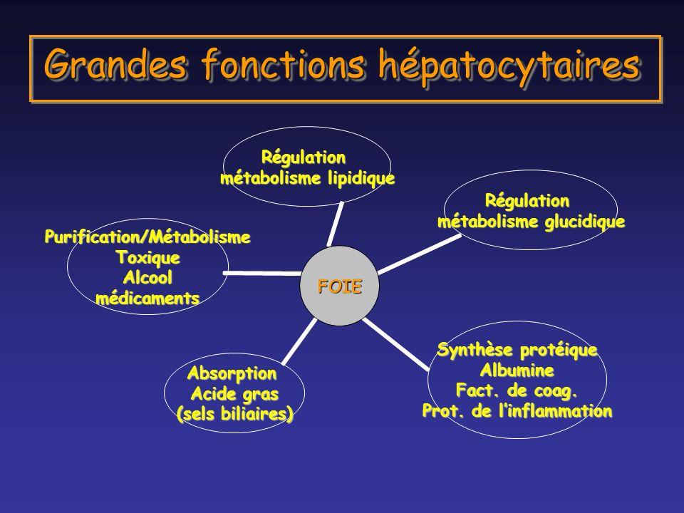 Grandes fonctions hépatocytaires FOIE Régulation métabolisme lipidique Régulation métabolisme glucidique Synthèse protéique Albumine Fact. de coag. Pr