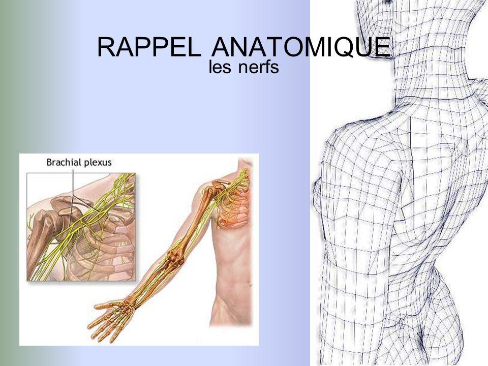 RAPPEL ANATOMIQUE les nerfs
