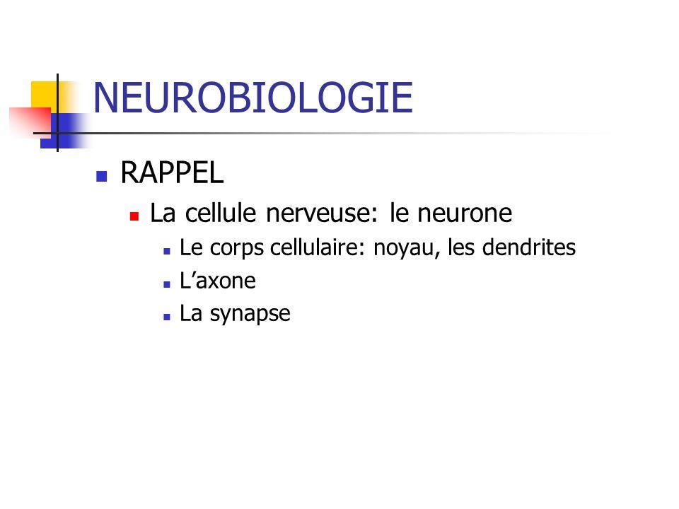 NEUROBIOLOGIE RAPPEL La cellule nerveuse: le neurone Le corps cellulaire: noyau, les dendrites Laxone La synapse