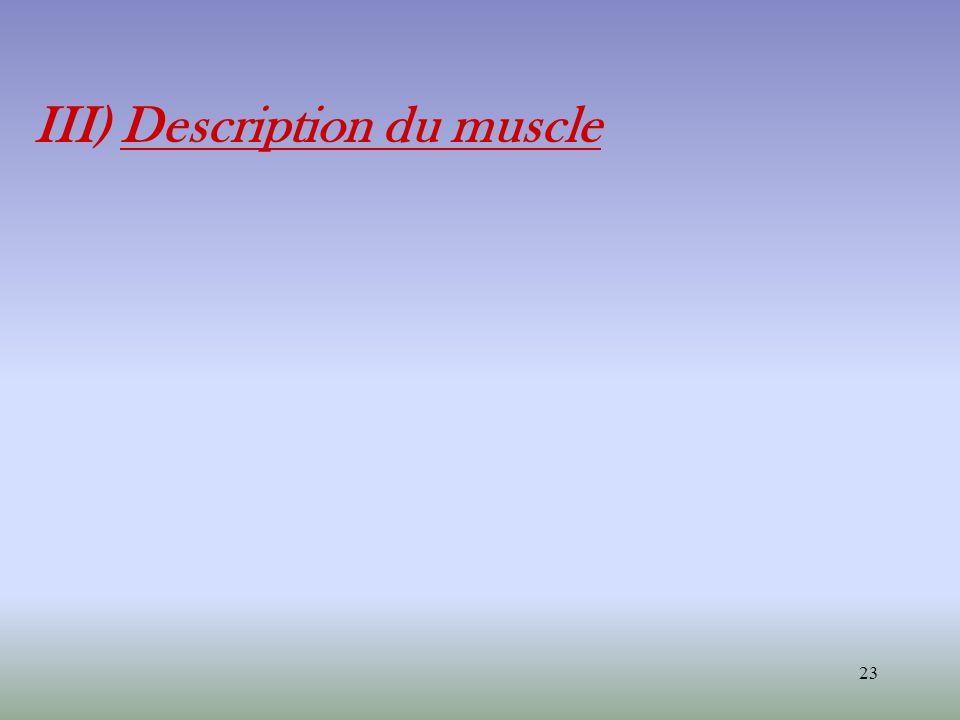 23 III) Description du muscle