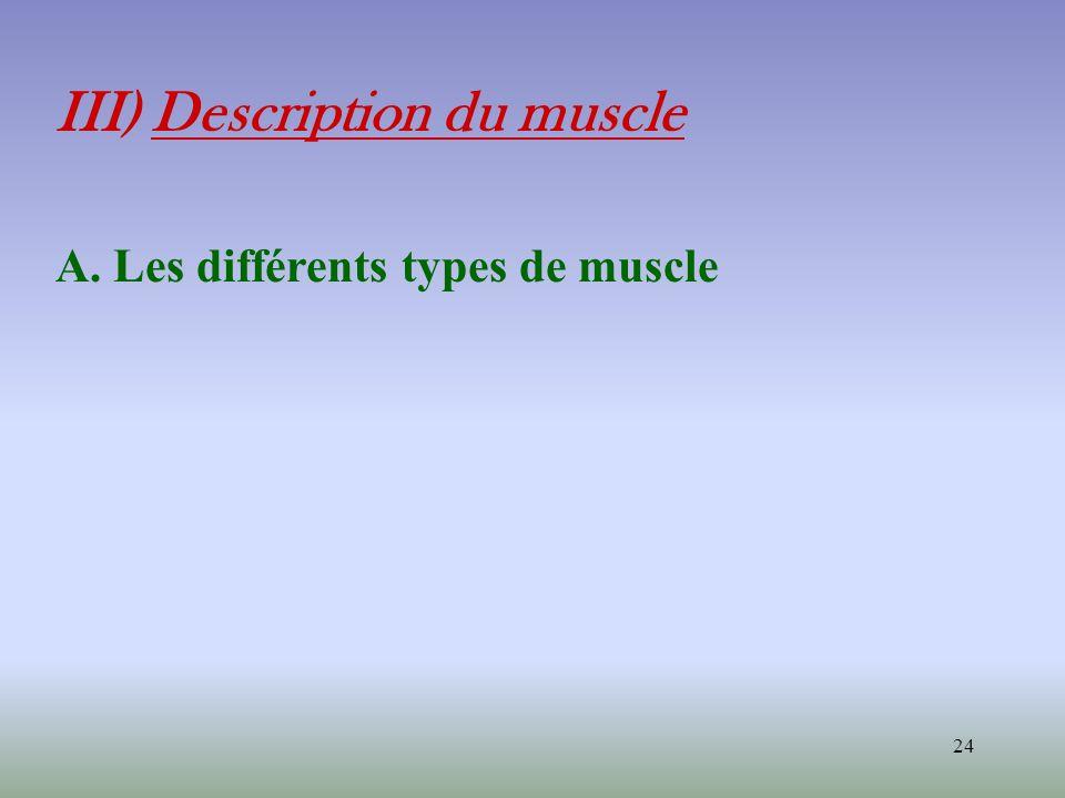 24 III) Description du muscle A. Les différents types de muscle
