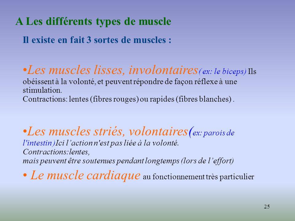 25 Il existe en fait 3 sortes de muscles : Les muscles lisses, involontaires ( ex: le biceps) Ils obéissent à la volonté, et peuvent répondre de façon