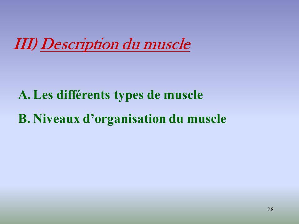 28 III) Description du muscle A.Les différents types de muscle B.Niveaux dorganisation du muscle