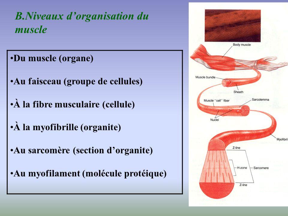 29 Du muscle (organe) Au faisceau (groupe de cellules) À la fibre musculaire (cellule) À la myofibrille (organite) Au sarcomère (section dorganite) Au