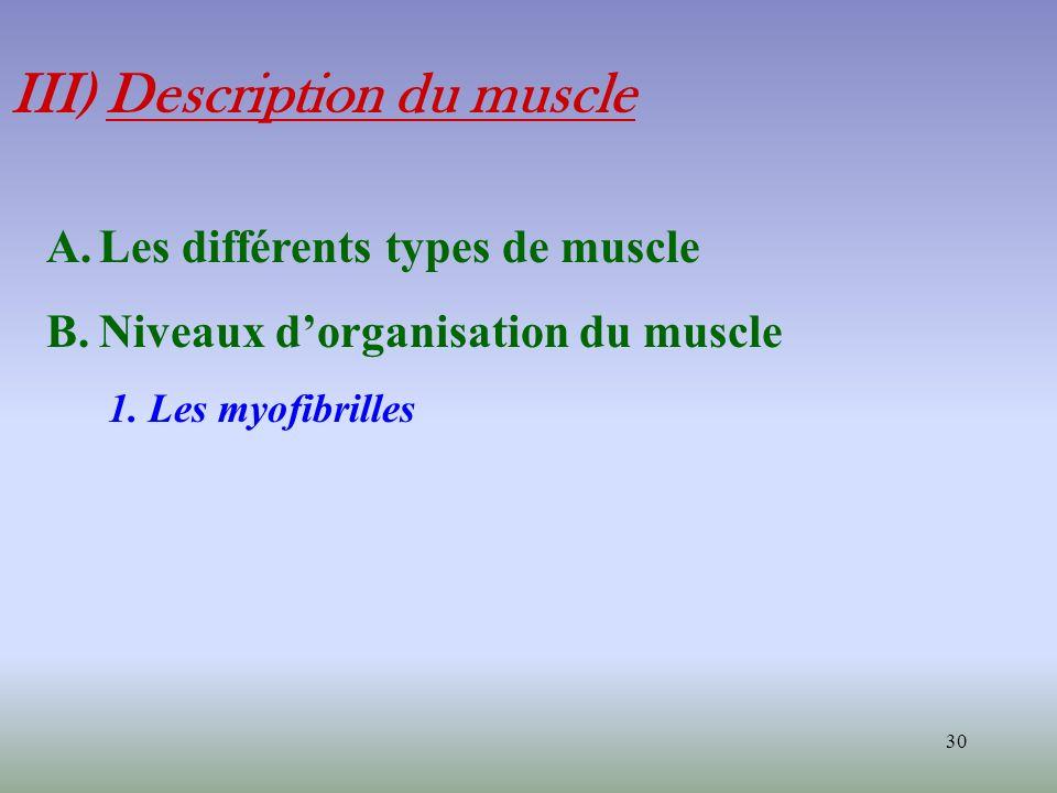 30 III) Description du muscle A.Les différents types de muscle B.Niveaux dorganisation du muscle 1. Les myofibrilles