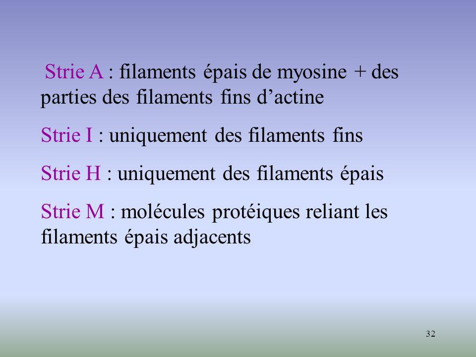 32 Strie A : filaments épais de myosine + des parties des filaments fins dactine Strie I : uniquement des filaments fins Strie H : uniquement des fila