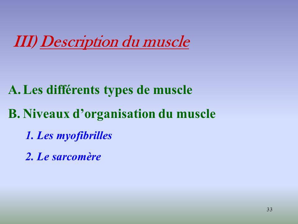33 III) Description du muscle A.Les différents types de muscle B.Niveaux dorganisation du muscle 1. Les myofibrilles 2. Le sarcomère