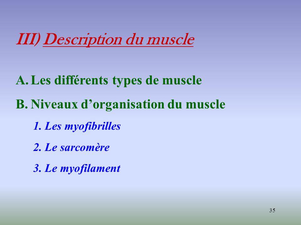 35 III) Description du muscle A.Les différents types de muscle B.Niveaux dorganisation du muscle 1. Les myofibrilles 2. Le sarcomère 3. Le myofilament