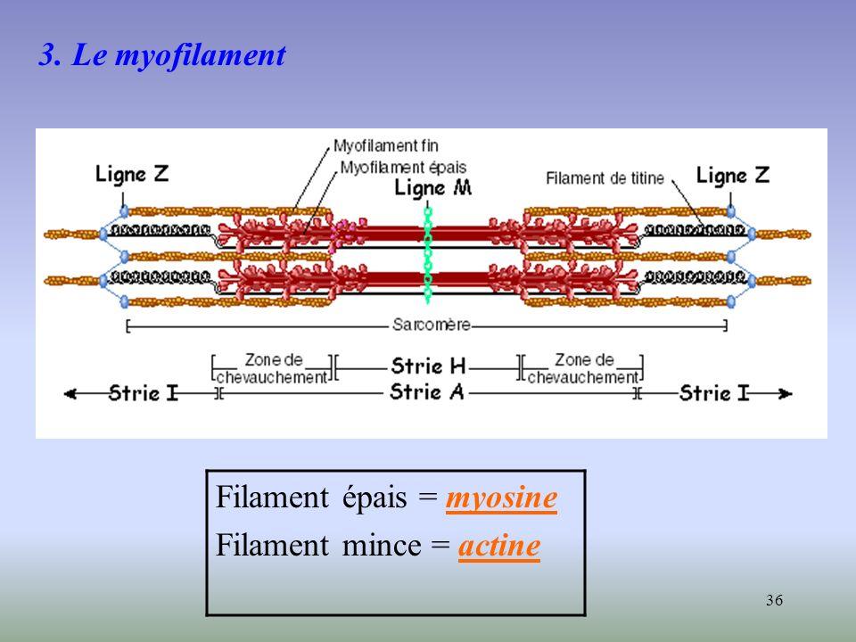 36 3. Le myofilament Filament épais = myosine Filament mince = actine