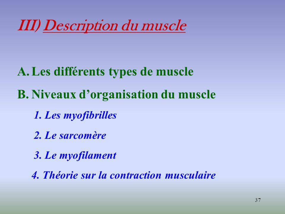 37 III) Description du muscle A.Les différents types de muscle B.Niveaux dorganisation du muscle 1. Les myofibrilles 2. Le sarcomère 3. Le myofilament