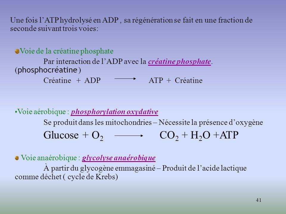 41 Voie de la créatine phosphate Par interaction de lADP avec la créatine phosphate. ( phosphocréatine ) Créatine + ADP ATP + Créatine Voie aérobique