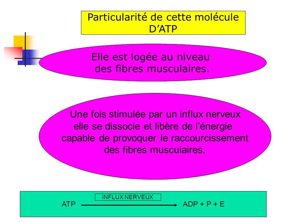 Elle est logée au niveau des fibres musculaires. Particularité de cette molécule DATP ATP ADP + P + E INFLUX NERVEUX Une fois stimulée par un influx n