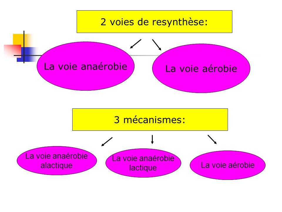 La voie anaérobie 2 voies de resynthèse: La voie anaérobie alactique La voie aérobie 3 mécanismes: La voie anaérobie lactique La voie aérobie
