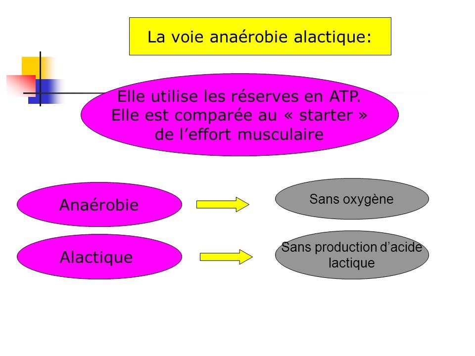 Elle utilise les réserves en ATP. Elle est comparée au « starter » de leffort musculaire La voie anaérobie alactique: Anaérobie Sans oxygène Alactique