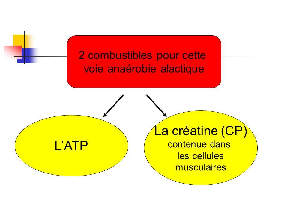 2 combustibles pour cette voie anaérobie alactique LATP La créatine (CP) contenue dans les cellules musculaires