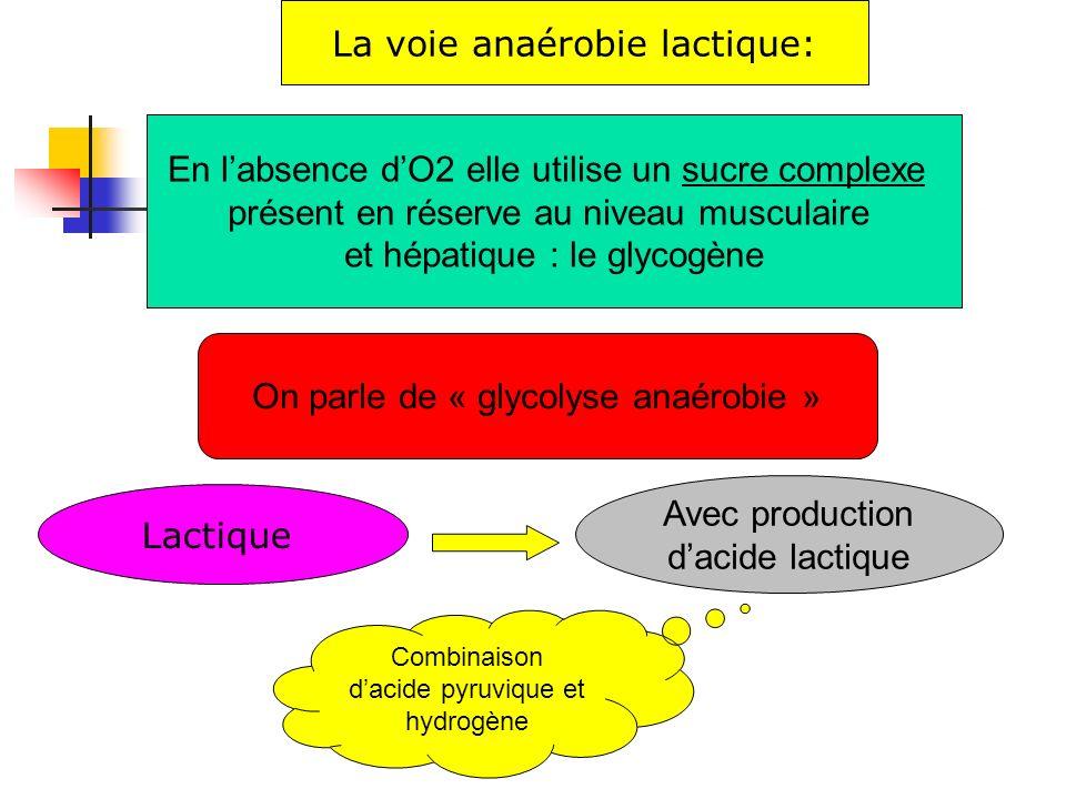 La voie anaérobie lactique: En labsence dO2 elle utilise un sucre complexe présent en réserve au niveau musculaire et hépatique : le glycogène Lactiqu