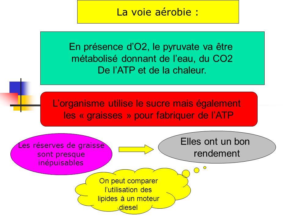 La voie aérobie : En présence dO2, le pyruvate va être métabolisé donnant de leau, du CO2 De lATP et de la chaleur. Les réserves de graisse sont presq