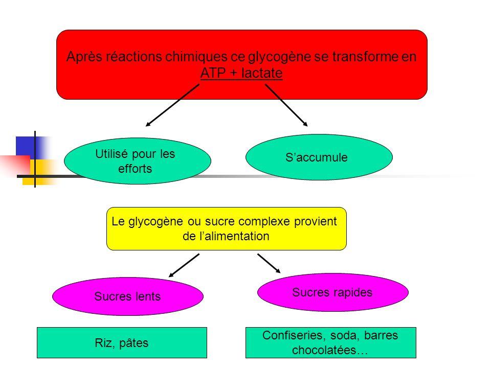 Après réactions chimiques ce glycogène se transforme en ATP + lactate Utilisé pour les efforts Saccumule Le glycogène ou sucre complexe provient de la