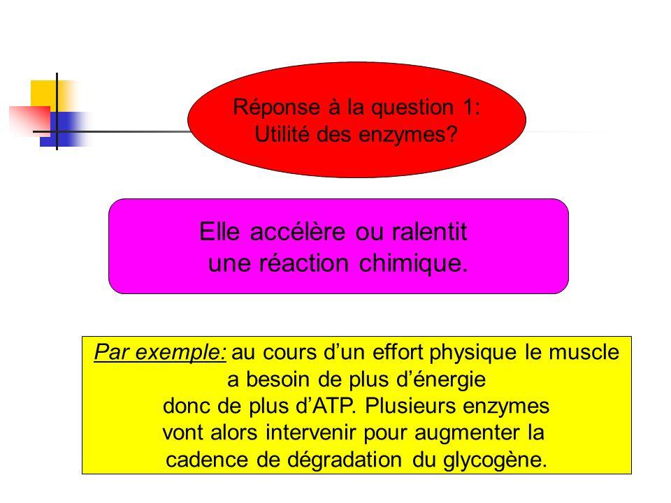 Réponse à la question 1: Utilité des enzymes? Elle accélère ou ralentit une réaction chimique. Par exemple: au cours dun effort physique le muscle a b