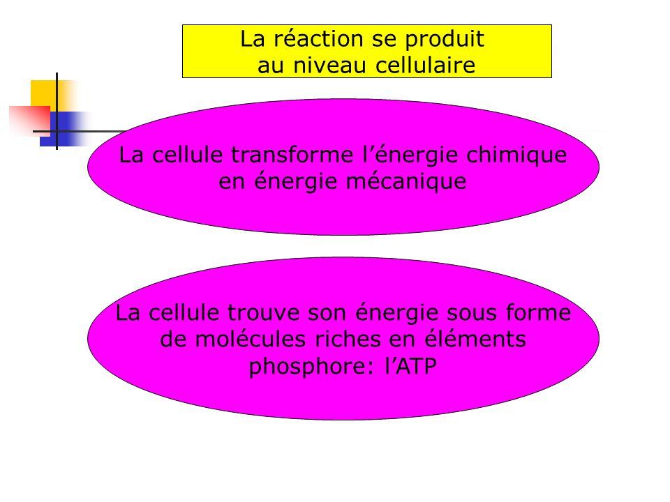 La cellule transforme lénergie chimique en énergie mécanique La réaction se produit au niveau cellulaire La cellule trouve son énergie sous forme de m