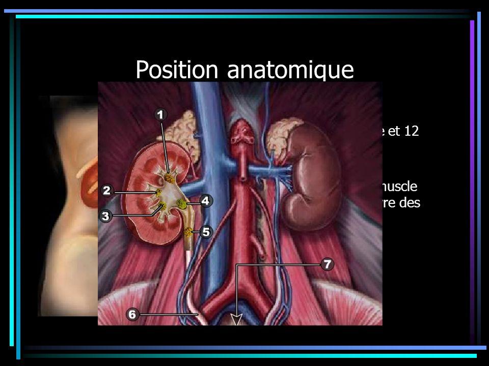 Position anatomique Rapports 1.post avec 11eme et 12 eme cotes 2.Muscle psoas 3.Aponévrose du muscle transverse et carre des lombes