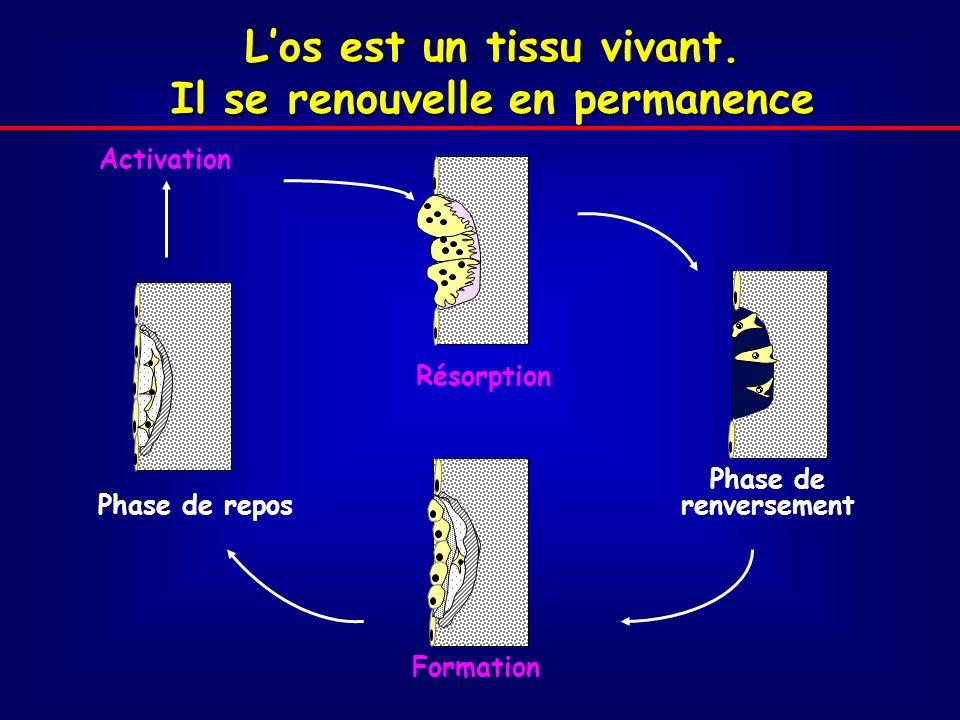 Phase de repos Formation Phase de renversement Activation Résorption Los est un tissu vivant.