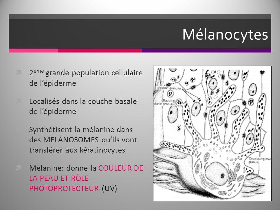 Mélanocytes 2 ème grande population cellulaire de lépiderme Localisés dans la couche basale de lépiderme Synthétisent la mélanine dans des MELANOSOMES quils vont transférer aux kératinocytes Mélanine: donne la COULEUR DE LA PEAU ET RÔLE PHOTOPROTECTEUR (UV)
