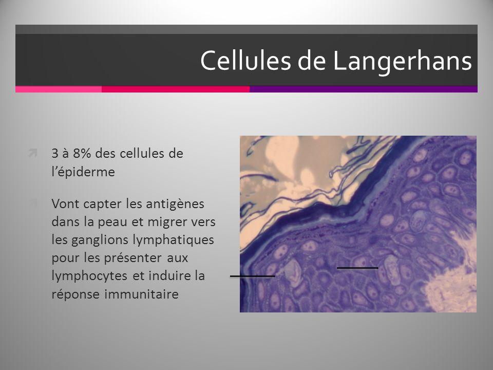 Cellules de Langerhans 3 à 8% des cellules de lépiderme Vont capter les antigènes dans la peau et migrer vers les ganglions lymphatiques pour les présenter aux lymphocytes et induire la réponse immunitaire