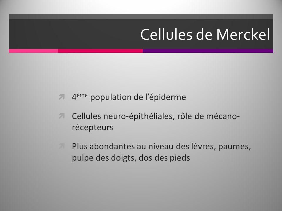 Cellules de Merckel 4 ème population de lépiderme Cellules neuro-épithéliales, rôle de mécano- récepteurs Plus abondantes au niveau des lèvres, paumes, pulpe des doigts, dos des pieds